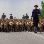 Saint George day leads livestock to the fields in Hortobagy