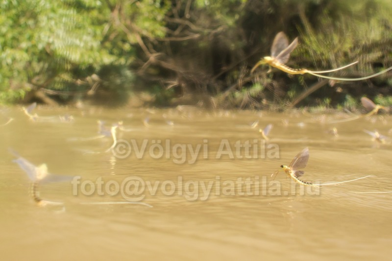 http://photos.volgyiattila.hu/gallery-collection/Tiszaviragzas-Blooming-of-Tisza/C0000EXxqiLmFfsM