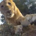 This is how a lion plays with a GoPro camera