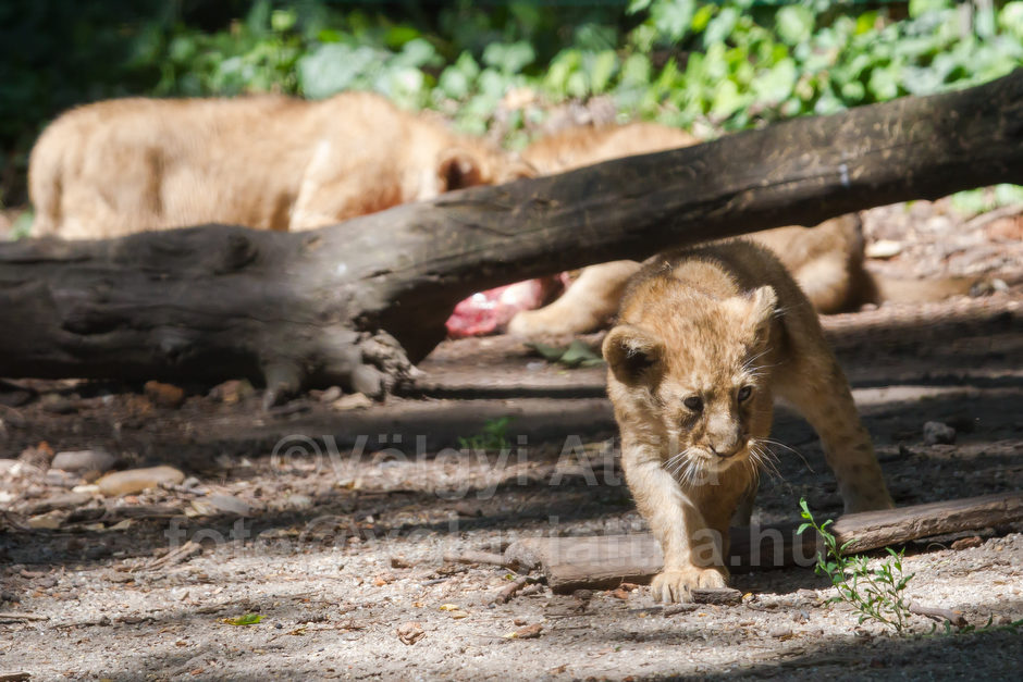 http://attilavolgyi.photoshelter.com/gallery/Baby-lions-in-Budapest-Zoo/G0000kEd_Q6oB6lc/C0000uooJhc8Et3I