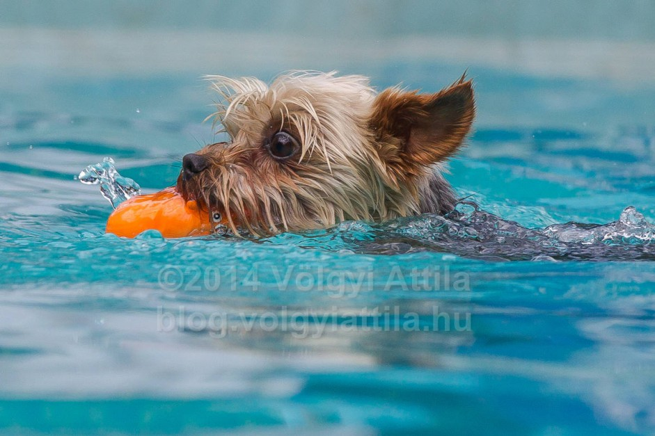 http://photos.volgyiattila.hu/gallery/Dog-Diving-Competition-2014/G00000VggftSzqro/C0000w8HgW32F7Xw
