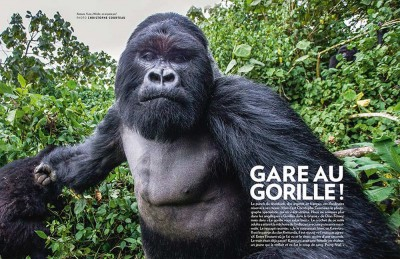 Double spread gorilla attacks in Paris Match  Photo by Christophe Courteau Click for more images by Christophe Courteau