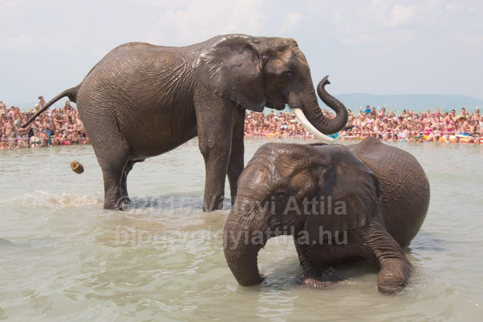 Elephants had more than a bath in lake Balaton