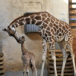 Animal world: the birth of a giraffe baby