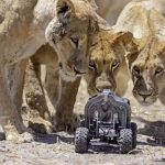 The latest in remotely shot African lion pictures